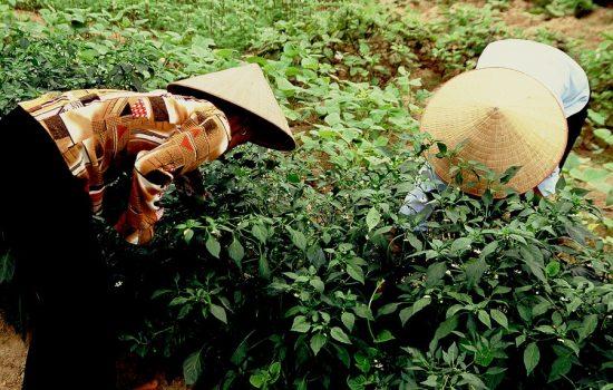 pyd-vietnam6m